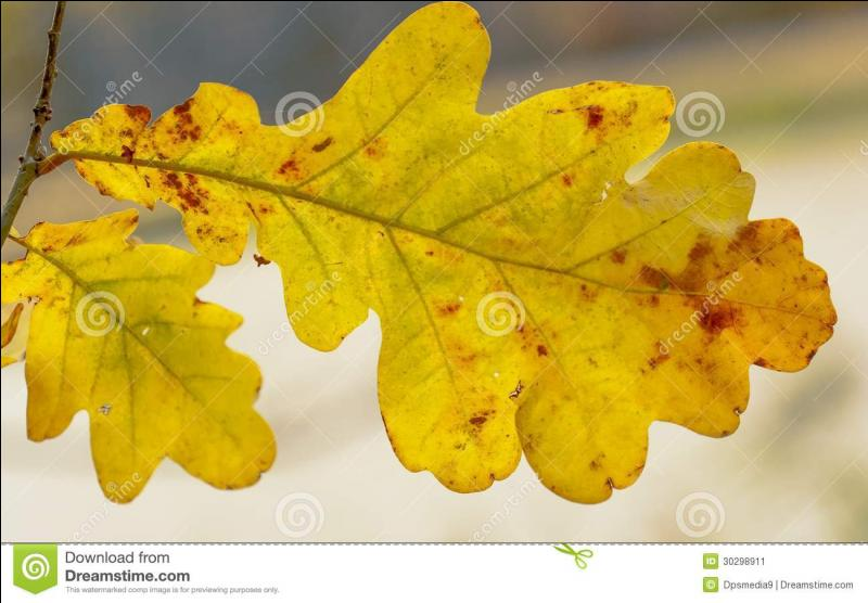 Quelle feuille, parée de couleur d'or, pouvez-vous admirer ?