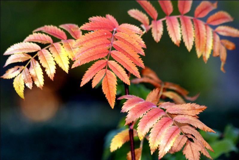 Que sont ces feuilles qui nous ravissent par leur éclat chatoyant ?