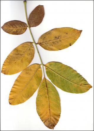 Reconnaissez-vous ces feuilles dont le coloris varie du vert au jaune ?