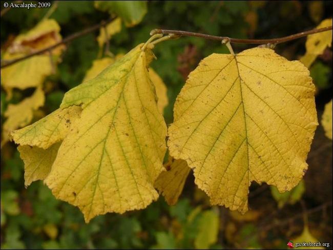 Celles-ci prennent aussi les couleurs de l'automne, à quel arbre appartiennent-elles ?