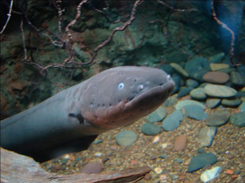 Une anguille électrique peut produire une décharge électrique jusqu'à huit heures après sa mort !