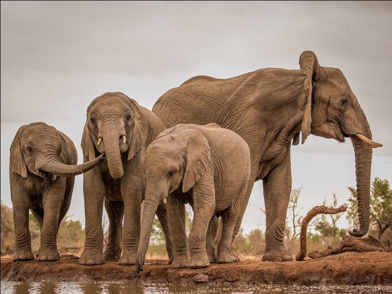 Dans les années 80, les scientifiques se sont aperçu que les éléphants étaient capables de communiquer entre eux, jusqu'à 10 km de distance ...