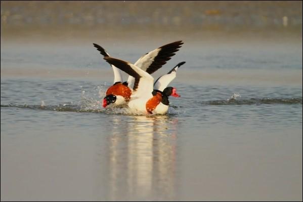 Comment appelle-ton une altercation entre deux canards ?