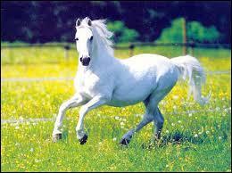 Quand l'antérieur droit prend de l'avance par rapport à l'antérieur gauche, on dit que le cheval galope à...