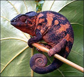 Ce caméléon se prend pour un félin ! Quel est son nom ?
