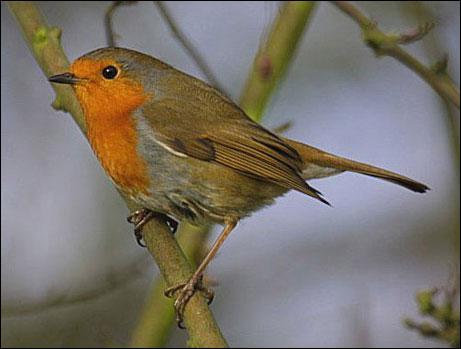 """Un """"aficionado"""" est aussi appelé oiseau-trompette."""