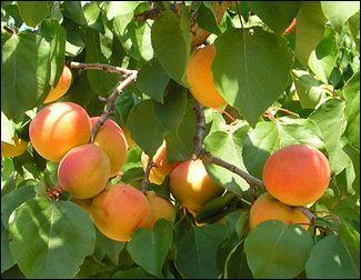 """Le carotène donne à cette drupe sa belle couleur orangée. Quel est ce fruit à noyau, à chair ferme, sucrée mais peu juteuse, dont la peau peut être piquetée de """"taches de rousseur"""" ?"""