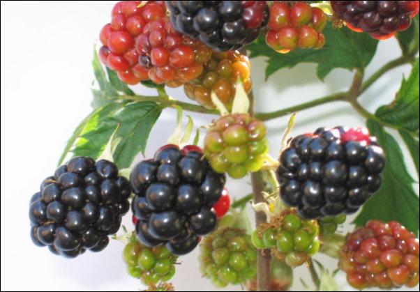 """Appelé """"meuron"""" dans certaines régions françaises et en Suisse romande, quel est ce fruit, fruit de la ronce commune ?"""