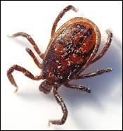 Elle touche l'être humain et de nombreux animaux, cette maladie est transmise presque exclusivement par les morsures de tiques. Comment appelle-t-on généralement cette borréliose ?