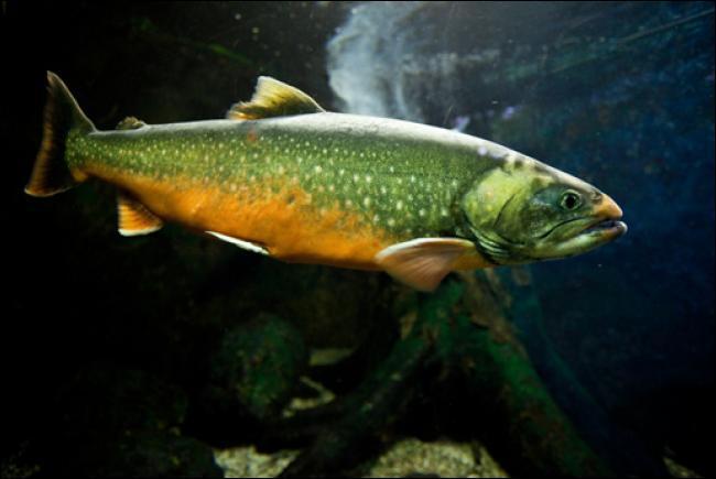 Quel est ce poisson d'eau douce que l'on trouve souvent dans les lacs de montagne, et dont la couleur et la taille sont variables ?