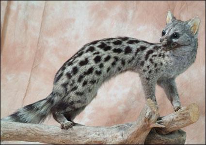 Quel est ce petit mammifère carnivore, d'activité nocturne, qui se nourrit de petits rongeurs et aborde peu les habitations ?