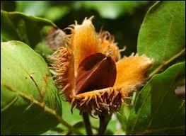 Quel est le nom du fruit du hêtre ?