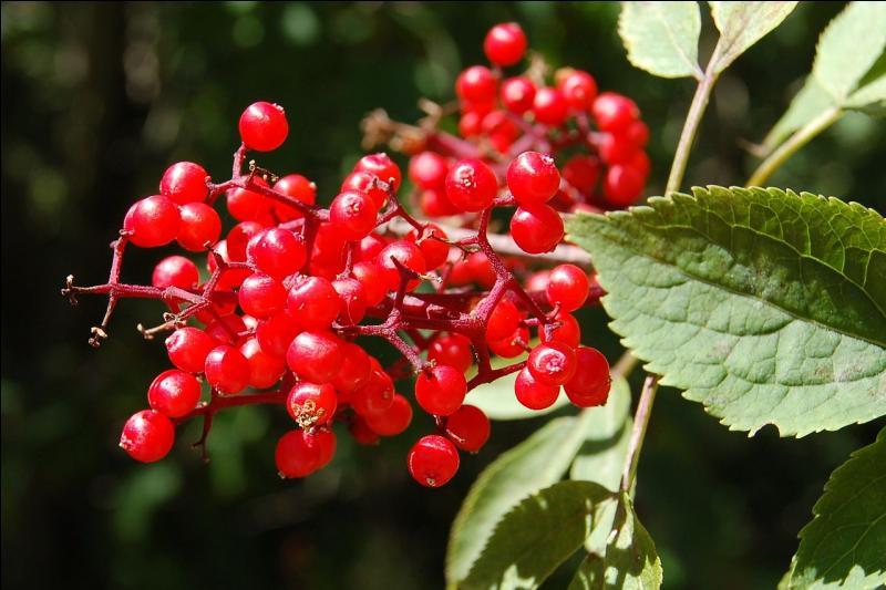 Reconnaissez-vous ces baies rouges appartenant à un arbuste à feuilles caduques et aux folioles dentées ?