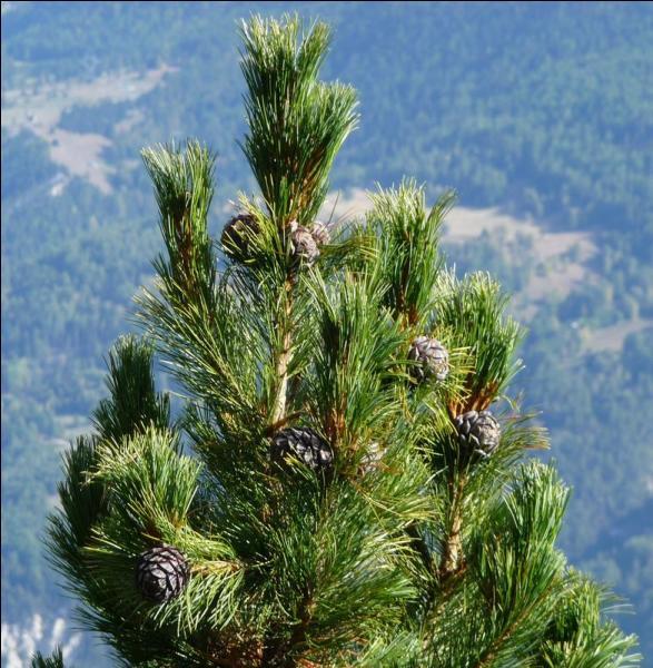 Quel est cet arbre qui atteint jusqu'à 25 mètres de haut et pousse en haute montagne ?