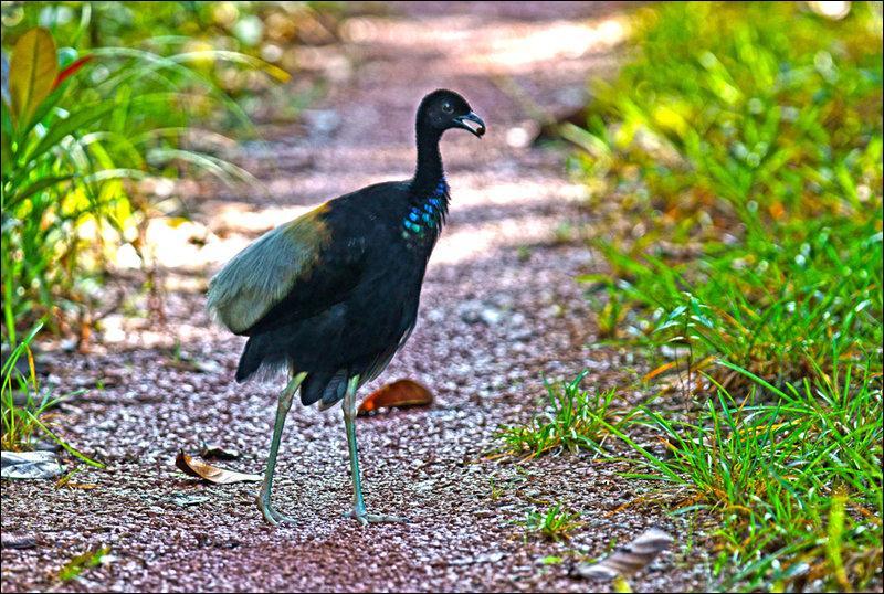 Oiseau d'Amérique du Sud, de la taille d'un coq, appelé oiseau-trompette :