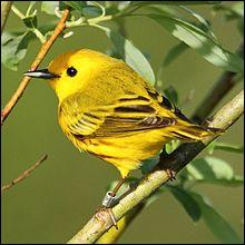 Technique utilisée en ornithologie permettant de suivre les oiseaux sauvages, d'identifier les oiseaux domestiques :