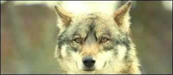 Comment le loup rouge est-il ?