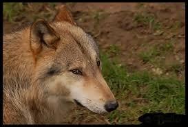 Quelle est la longueur de la gestation du loup rouge ?