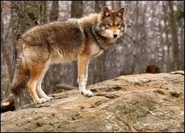 Le loup rouge :