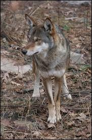 Avant, il existait trois sous-espèces de loup rouge. En quelle année la première s'est-elle éteinte ?