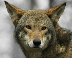 En 2011, combien d'individus dénombre-t-on à l'état sauvage ?