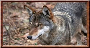 D'après certains chercheurs, le loup rouge est un hybride de loup gris et de :