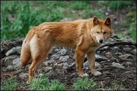 En moyenne, combien le loup rouge pèse-t-il ?