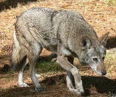 Animaux des Amériques (2) - Le loup rouge