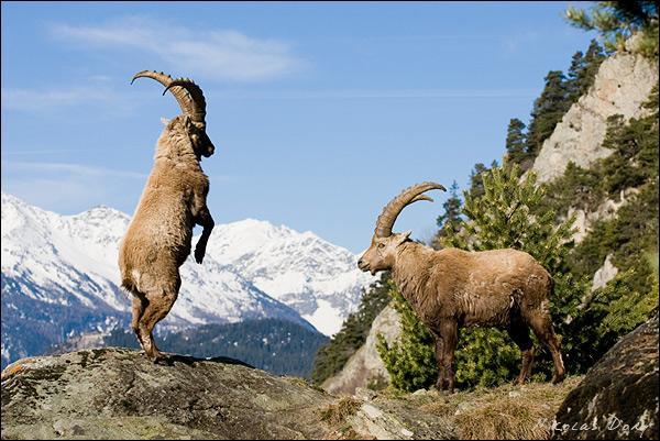 Le parc national de la Vanoise abrite une zone protégée, dite zone cœur, de 52 900 ha, en Savoie.
