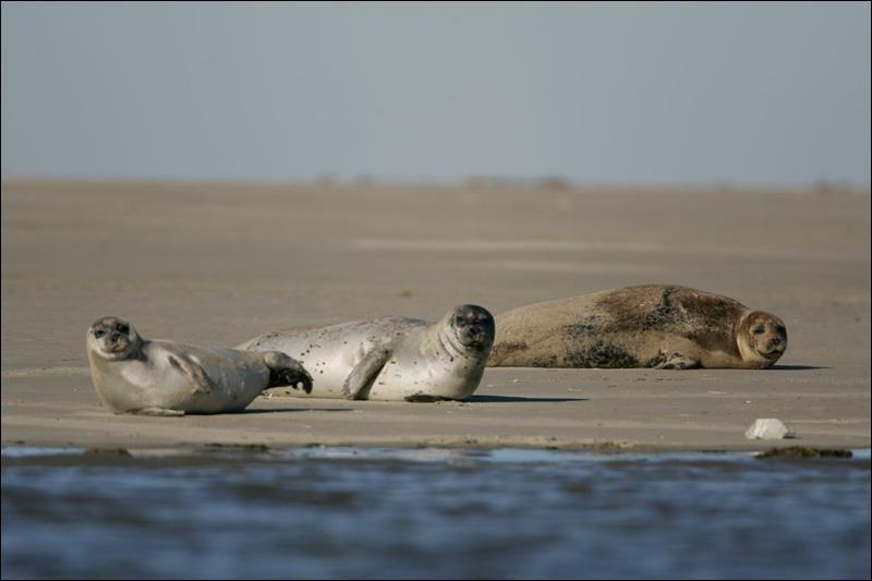 Des phoques vivent dans la baie de Somme, en Picardie.