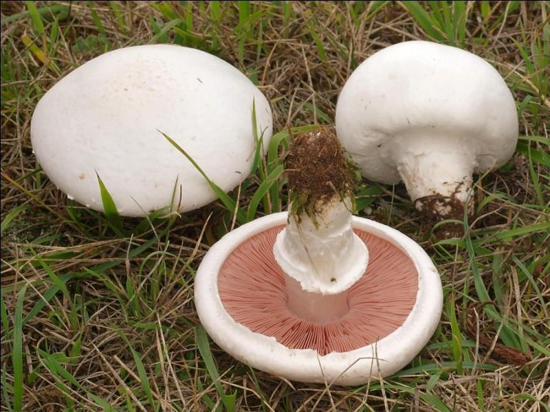 Allons-nous faire une omelette avec ces champignons ?