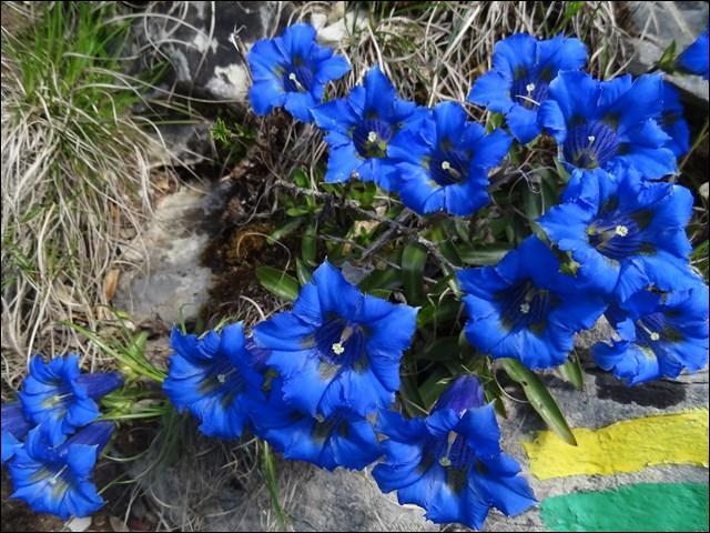 Quel est le nom de ses superbes fleurs bleues ?