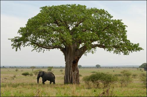 Le fruit du baobab est-il comestible ?