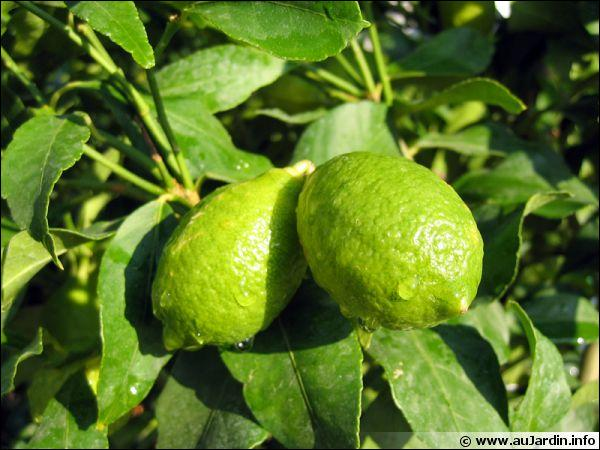 La lime est le fruit du limettier :