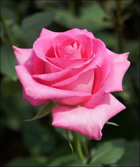 Avec quelle partie de la rose, allez-vous confectionner une confiture de rose ?