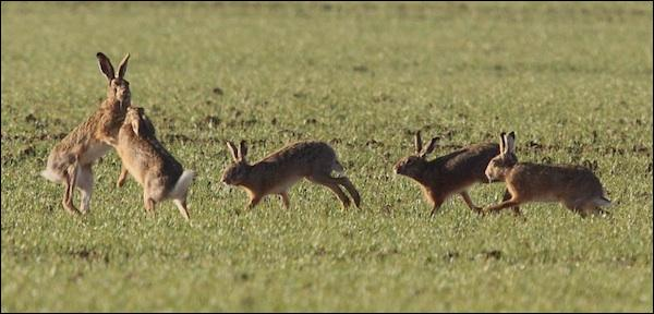 Que dit-on des lièvres lorsqu'ils se courent après en période de rut ?