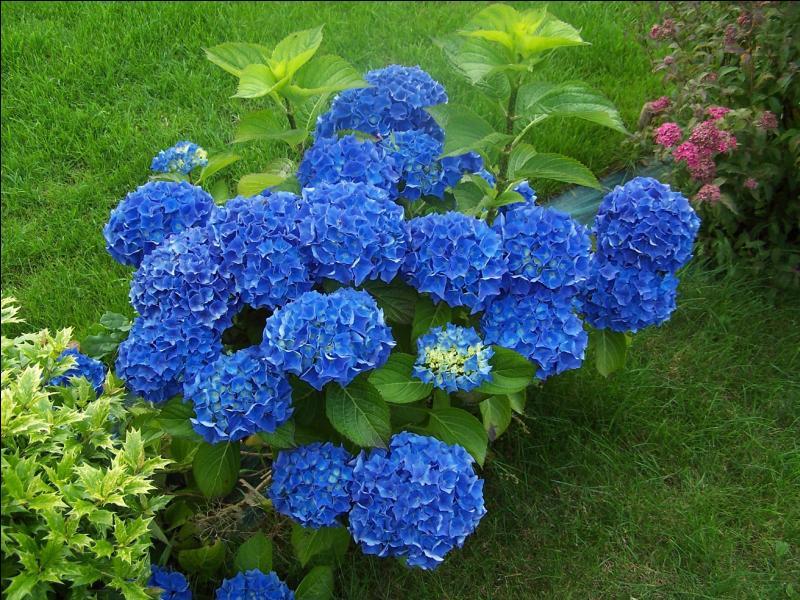 Est-il vrai que la couleur naturelle des hortensias soit bleue ?