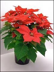 """Quel surnom donne-t-on à la plante appelée """"Poinsettia"""" ?"""