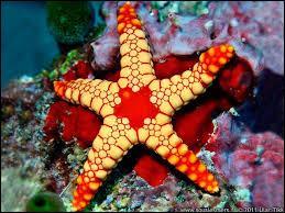 L'étoile de mer est un...