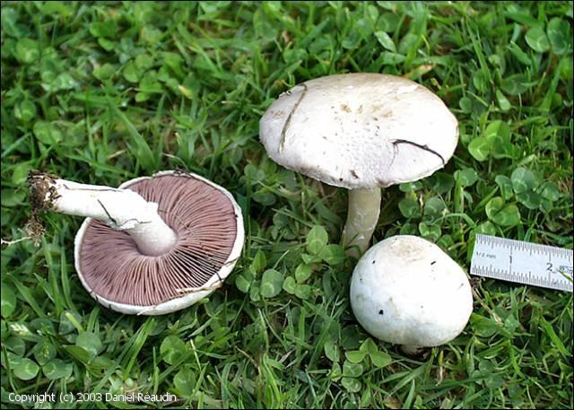 Commençons notre promenade avec ce champignon. Quel est son nom ?