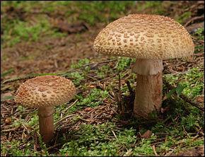 En marchant, j'en rencontre un, trouvez moi le nom de ce champignon !