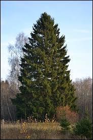 L'épicéa est très fréquent dans nos régions ; il entre dans les maisons comme sapin de Noël. Quel âge a le plus vieux ?
