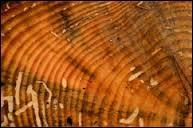 Comment s'appellent les anneaux des arbres qui servent à compter leur âge. On les distingue bien sur les résineux.