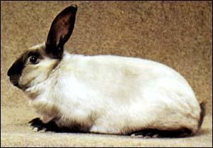 Quel est ce lapin domestique obtenu par plusieurs croisements ?