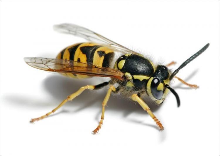 La phobie ou la peur des abeilles, des guêpes ( la photo) etc.