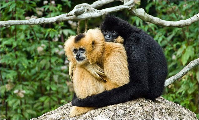 Quel est ce singe qui ne voue son amour qu'à une seule femelle à laquelle il demeure fidèle toute la vie .