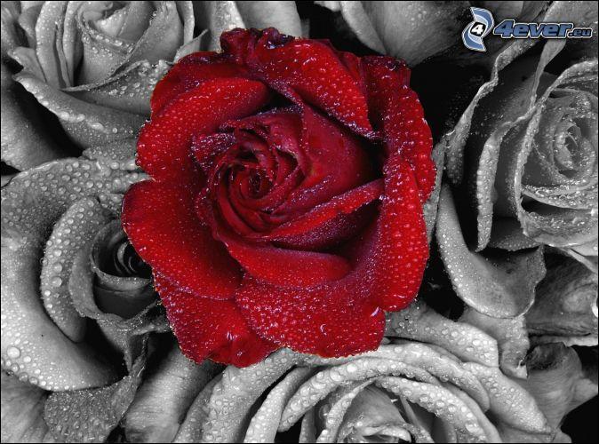 Le titre d'un de ses albums associe les roses à d'autres plantes. Quelles sont ces plantes ?