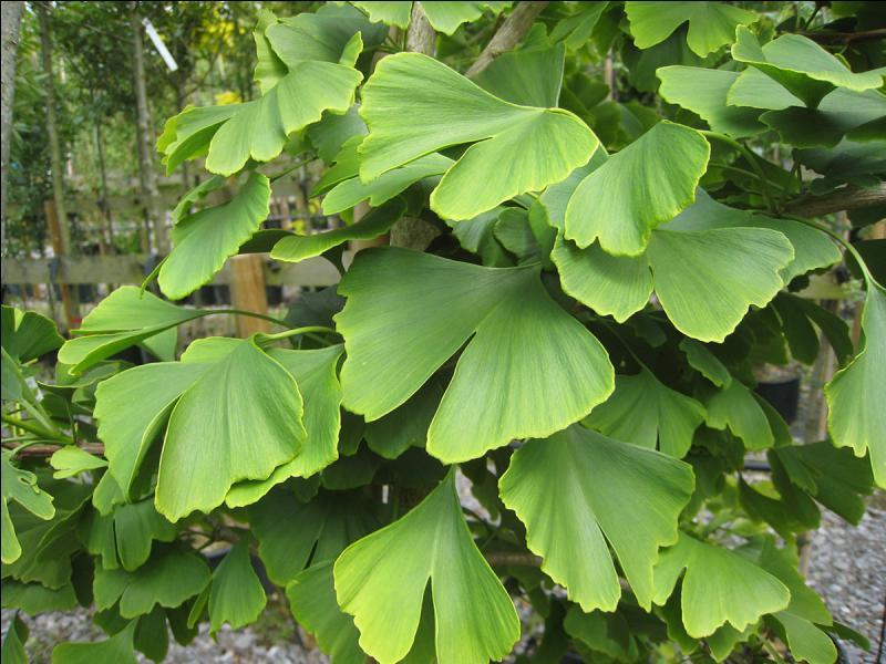 Quelle plante, surnommée l'arbre aux 40 écus, originaire du sud-est de la Chine, est réputée pour ses propriétés favorisant la mémoire ?