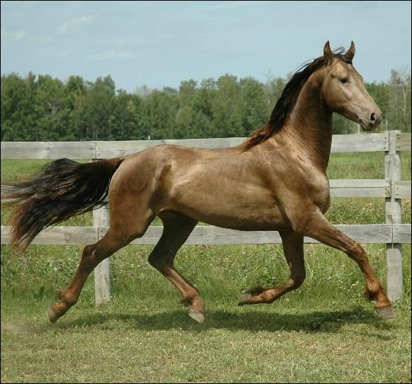 Ce cheval ayant le gène champagne classic a pour robe de base :