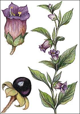 Plante herbacée, qui peut se révéler très toxique car ses baies noires contiennent de l'atropine.